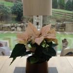 Peach poinsettia potted plant